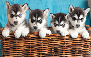 four puppies Husky