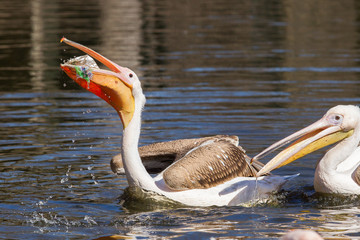 Young pink pelican playing
