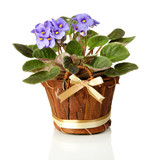 Bright saintpaulia in wooden flowerpot, isolated on white