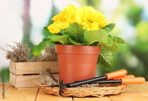Beautiful yellow primula in flowerpot