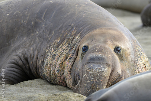 elephant seal, male adult beachmaster close up, big sur, califor