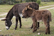 Two donkeys grazing in field
