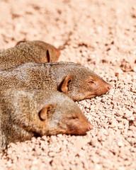 Dwarf Mongoose Sleeping