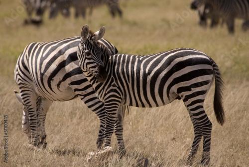 Para Zebra