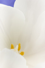 White tulip flower petals extreme macro.