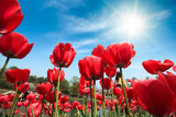 Fototapety red tulips under blue sky