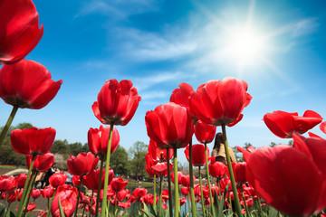 fototapeta czerwone tulipany pod błękitnym niebem
