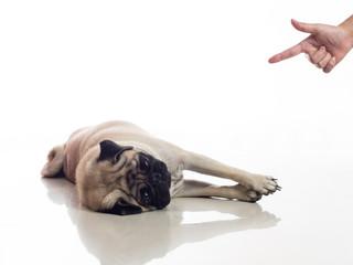 pug play dead