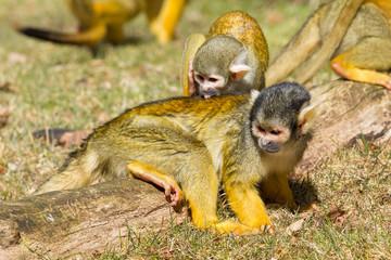 Squirrel Monkey washing another Squirrel Monkey