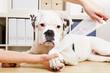 Boxer Hund bekommt Pfote verbunden beim Tierarzt