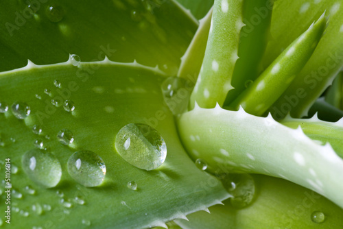 Water drops on leaf of aloe