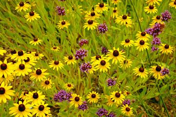 Yellow echinacea flowers in bloom