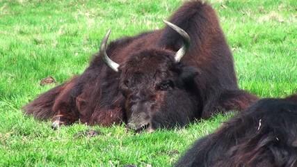bufali a riposo