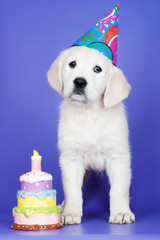 golden retriever puppy birthday
