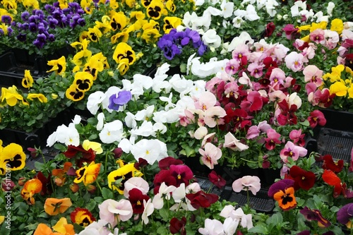 flowers with petals multicolor for sale in a greenhouse of a flo