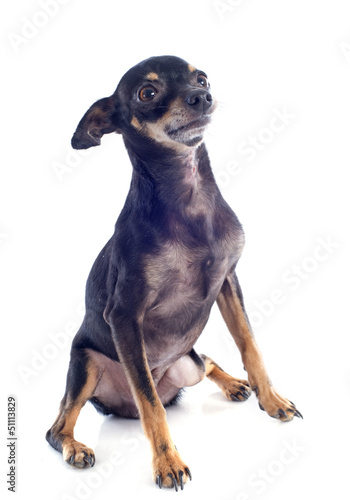 senior miniature pinscher