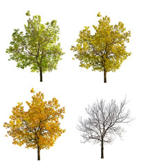 four seasonsl oak isolated on white