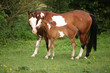 Paint horse mare with adorable foal on pasturage