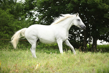 White czech warmblood running on pasturage
