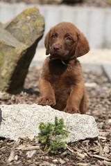 Chesapeake Bay Retriever puppy on stone