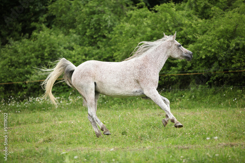 White Arabian mare running in front of green background