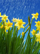Daffodils in the rain