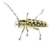 Ladder-marked long horn beetle, Saperda scalaris isolated