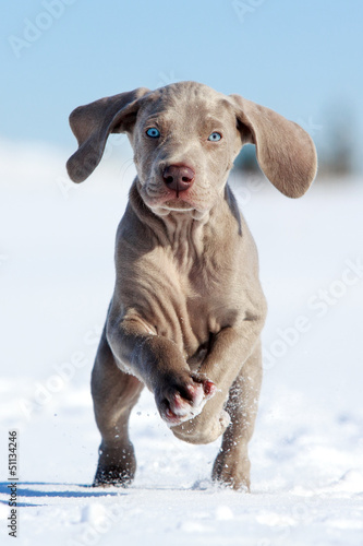 wemaraner puppy run in snow field