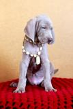 weimaraner blue puppy indoor portrait poster