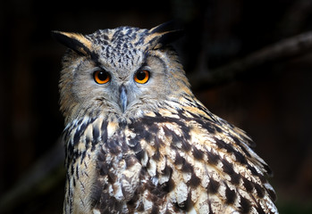 Portrait Owl