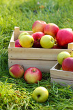 crates of fresh ripe apples in garden on green grass