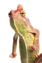 Chameleon  Isolation on white