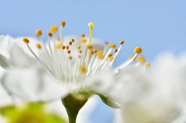 Close up of a white spring blossom