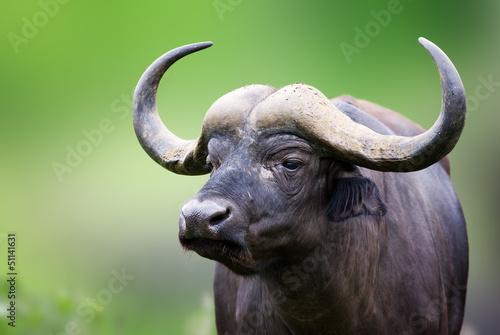 In de dag Buffel African buffalo Portrait