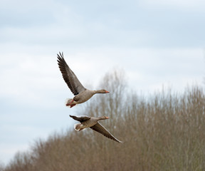 Two geese flying over nature in spring