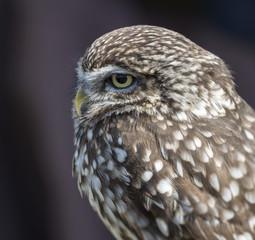 small screech owl