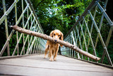 Cocker Spaniel with large stick on bridge