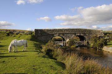 Pony grazing Dartmoor National Park Devon UK