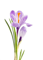 lilac flower crocus on white background