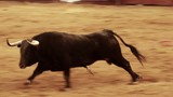 Powerful spanish bull, bullfight arena