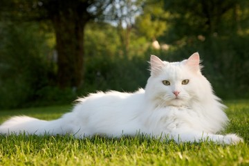 The beauty big white cat