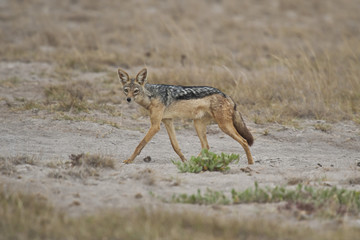 Golden Jackal in the Savannah