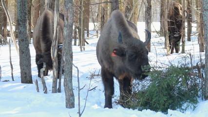 European bison bull