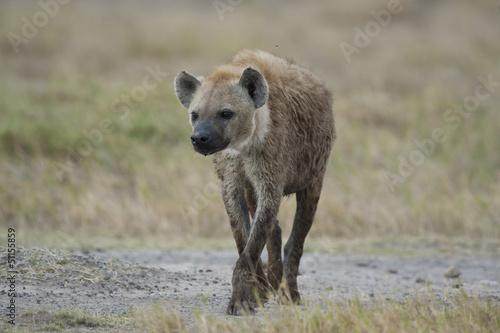 Papiers peints Hyène Hyena walking in the Savannah