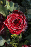 Frosted red rose