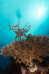 Lionfish over a table coral in the Red Sea.