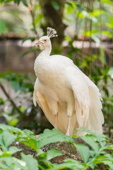 The portrait of white peacock