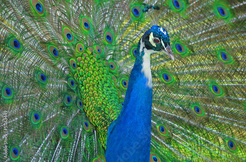 Magnificent Peacock