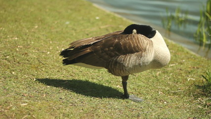 Canada goose stands on one leg and takes a nap.