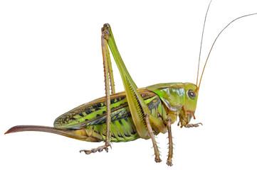 Grasshopper 27
